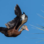 2016 Black-Bellied Whistling Duck