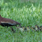 2016 Black-Bellied Whistling Duck - 2nd fledgling