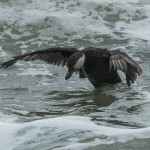 Harlequin Duck - Ft Clinch State