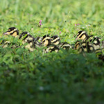1 day old Whistling Duck babies