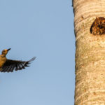 Red-Bellied Woodpecker exploring